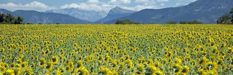 Sunflower Field in Valensole