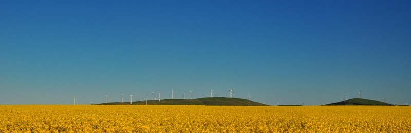 Canola Fields and Windmills