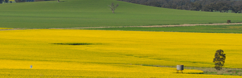 Canola fields in bloom in Northern Victoria